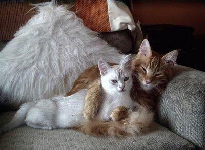 картинки влюбленных котов